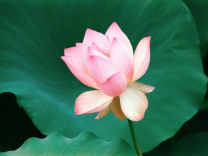 Indian_lotus_flower